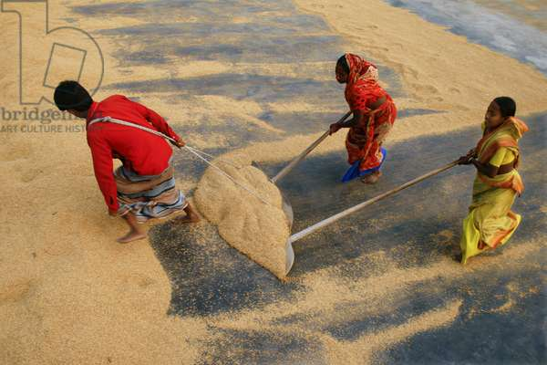 Rice mill workers raking paddy, on the floor of a rice mill. Due to a global shortage, the price of rice has increased by 50 percent causing an international crisis. Bangladesh is one of the poorest countries in the world, where nearly 40 percent of the population survives on less than a dollar a day. Kushtia, Bangladesh. January 1, 2009.  (photo)