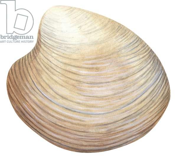 Quahog, palourde americaine - Hard-shell clam (Mercenaria mercenaria) ©Encyclopaedia Britannica/UIG/Leemage