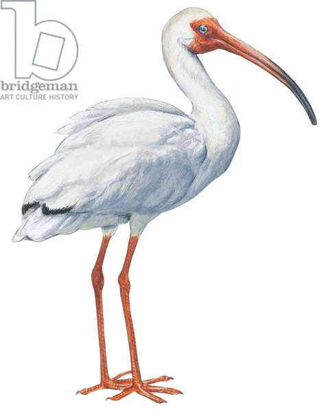 Ibis blanc - White ibis (Eudocimus albus) ©Encyclopaedia Britannica/UIG/Leemage