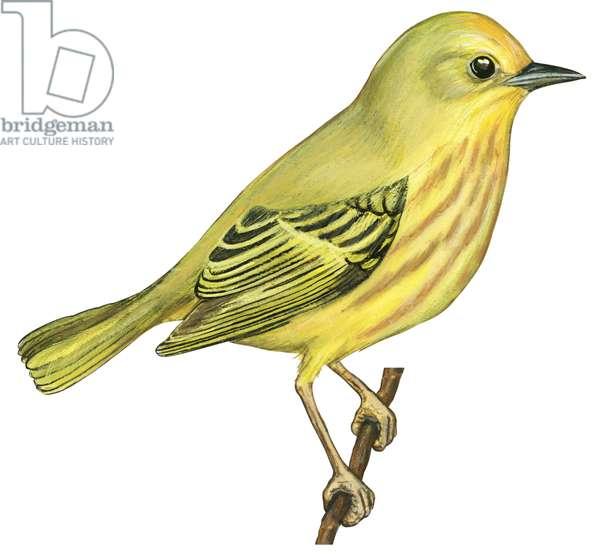 Paruline jaune - Yellow warbler (Dendroica petechia) ©Encyclopaedia Britannica/UIG/Leemage