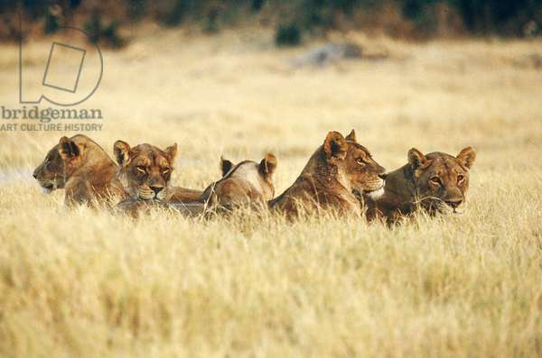 Lioness Pride, South Africa (photo)