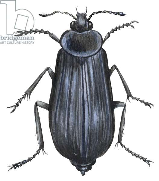 Silphe (coleoptere) - Carrion beetle (Silpha ramosa) ©Encyclopaedia Britannica/UIG/Leemage