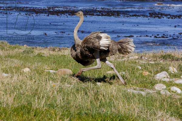 Ostrich at Cape Point (photo)