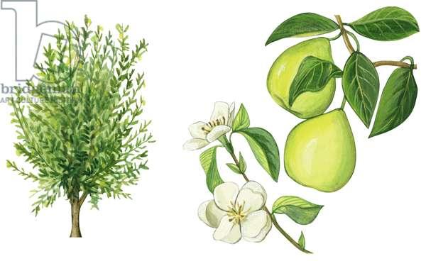 Cognassier et coings - Quince tree (Cydonia oblonga) ©Encyclopaedia Britannica/UIG/Leemage