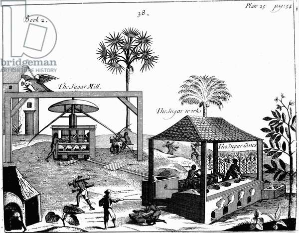 Slave labour on a sugar plantation in the West Indies. From P Pomet A Compleat History of Drugs, 1725. Cane taken to vertical crushing mill powered by oxen. Juice extracted flows to boiling house where liquid boiled and refined. Engraving