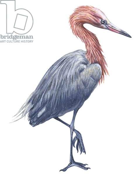 Aigrette roussatre - Reddish egret (Egretta rufescens) ©Encyclopaedia Britannica/UIG/Leemage