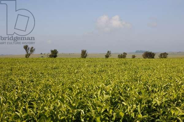 Magwa Tea Plantation (photo)