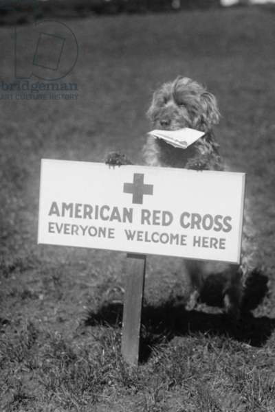 Sandy, the American Red Cross Dog Welcomes Everyone 1920 (photo)