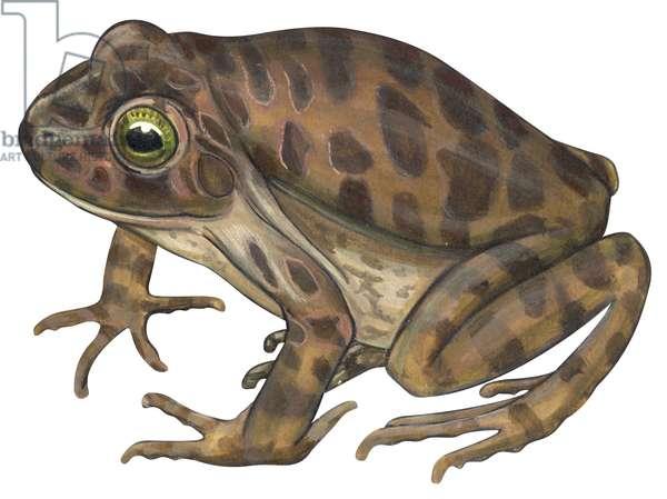 Balcones barking frog (Craugastor augusti latrans) ©Encyclopaedia Britannica/UIG/Leemage