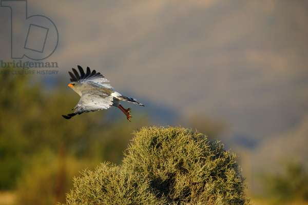 Pale Chanting Goshawk in flight (photo)