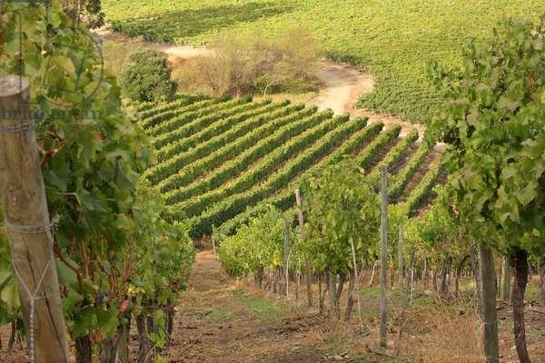 Via Manent Vineyards, Chile (photo)