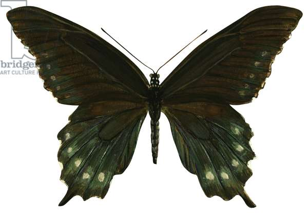 Pipevine Swallowtail butterfly (Battus philenor) ©Encyclopaedia Britannica/UIG/Leemage