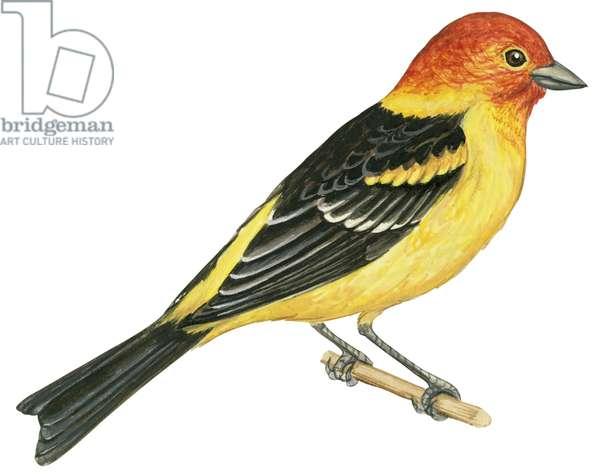 Piranga a tete rouge ou Tangara joueur - Western tanager (Piranga ludoviciana) ©Encyclopaedia Britannica/UIG/Leemage