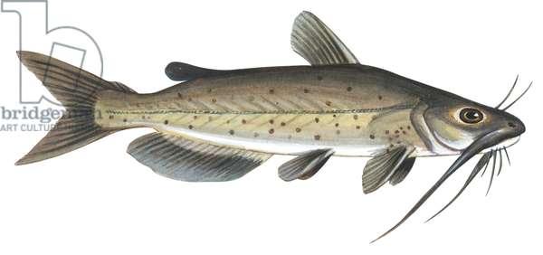 Barbue de riviere (poisson chat) - Channel catfish (Ictalurus punctatus) ©Encyclopaedia Britannica/UIG/Leemage
