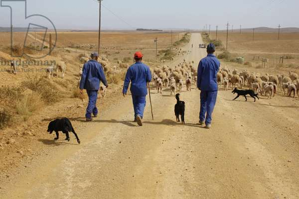 Shepherds and sheep herd. Western Cape, South Africa(photo)