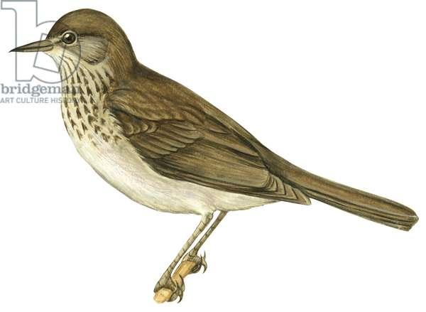 Grive a joues grises - Grey-Cheeked thrush (Catharus minimus) ©Encyclopaedia Britannica/UIG/Leemage