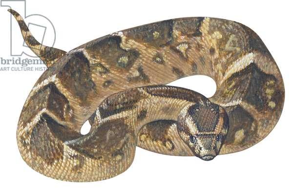 Vipere heurtante - Adder (Bitis arietans) ©Encyclopaedia Britannica/UIG/Leemage