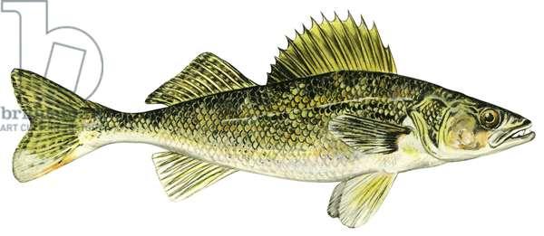 Dore jaune (perche) - Walleye (Sander vitreus) ©Encyclopaedia Britannica/UIG/Leemage