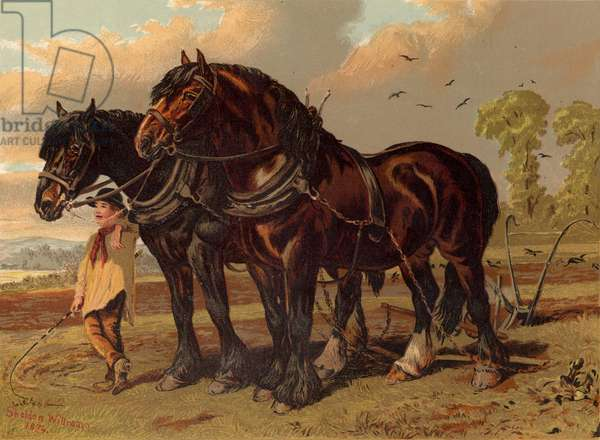 Clydesdale stallion and mare with plough
