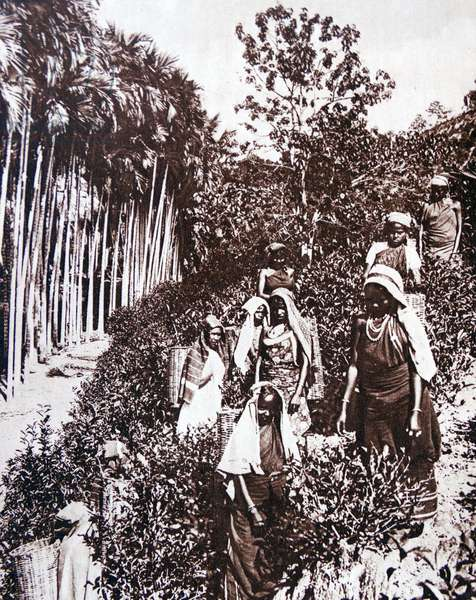 Tamil tea plantation Sri Lanka (Ceylon) 1935