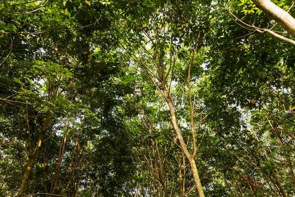 Rubber trees, Simalungun, North Sumatra, Indonesia (photo)