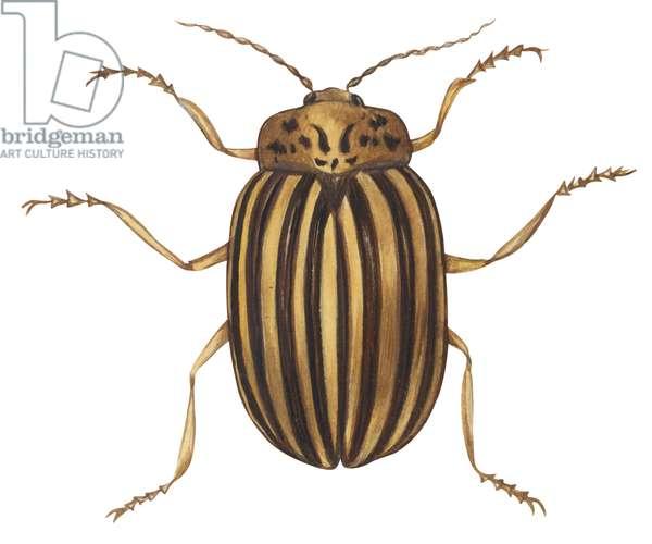 Doryphore de la pomme de terre - Colorado potato beetle (Leptinotarsa decemlineata) ©Encyclopaedia Britannica/UIG/Leemage