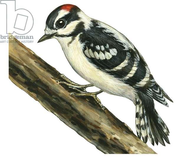 Pic mineur - Downy woodpecker (Picoides pubescens) ©Encyclopaedia Britannica/UIG/Leemage