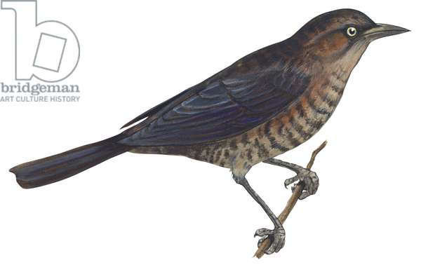 Quiscale rouilleux - Rusty blackbird (Euphagus carolinus) ©Encyclopaedia Britannica/UIG/Leemage