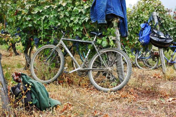 Bicycles in Vineyard, Chile (photo)