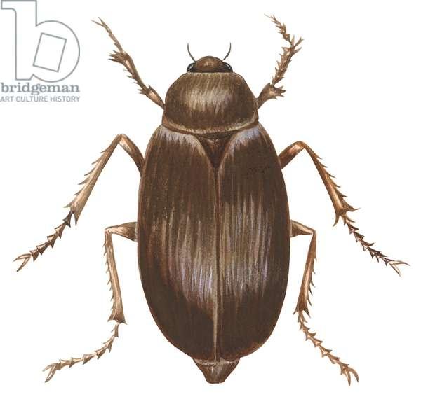 Scarabee - May beetle (Phyllophaga) ©Encyclopaedia Britannica/UIG/Leemage