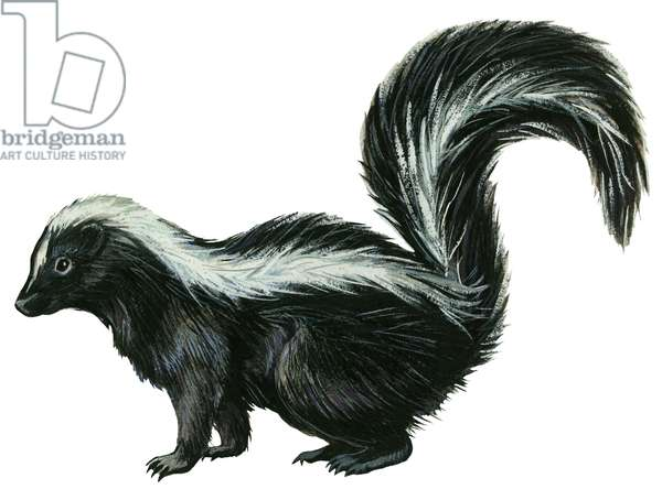 Mouffette rayee - Striped skunk (Mephitis mephitis) ©Encyclopaedia Britannica/UIG/Leemage