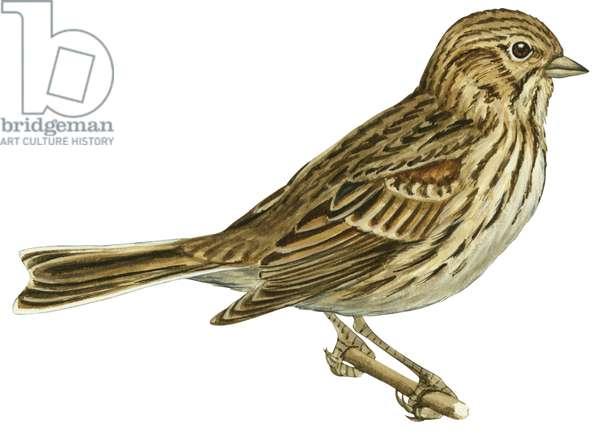 Bruant vesperal - Vesper sparrow (Pooecetes gramineus) ©Encyclopaedia Britannica/UIG/Leemage