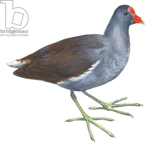 Gallinule poule d'eau - Common gallinule (Gallinula chloropus cachinnans) ©Encyclopaedia Britannica/UIG/Leemage