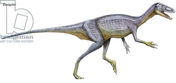 Eoraptor, late Triassic dinosaur. This tiny carnivore is close to what the common ancestor of all dinosaurs might look like.