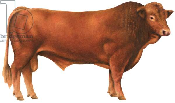 Taureau Gelbvieh - Gelbvieh bull (Cattle breed) ©Encyclopaedia Britannica/UIG/Leemage