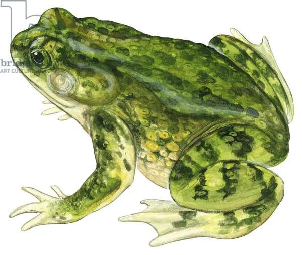 Crapaud vert - Green toad (Anaxyrus debilis) ©Encyclopaedia Britannica/UIG/Leemage