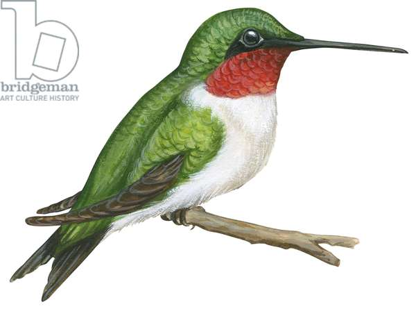 Colibri a gorge rubis (oiseau mouche) - Ruby-throated hummingbird (Archilochus colubris) ©Encyclopaedia Britannica/UIG/Leemage