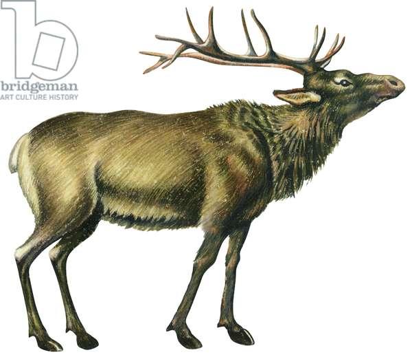 Cerf elaphe - Wapiti (Cervus elaphus) ©Encyclopaedia Britannica/UIG/Leemage
