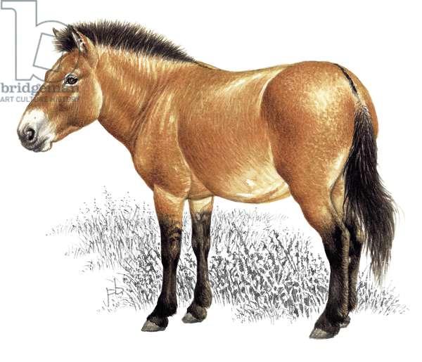 Mongolian wild horse