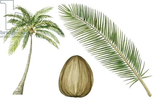 Cocotier - Coconut palm (Cocos nucifera) ©Encyclopaedia Britannica/UIG/Leemage