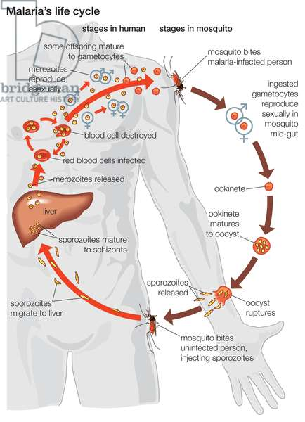 The life cycle of a malaria parasite, from its stages within the body of a mosquito to those within the body of a human.