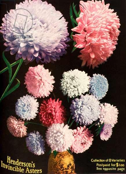 Henderson's Aster flowers, 1950