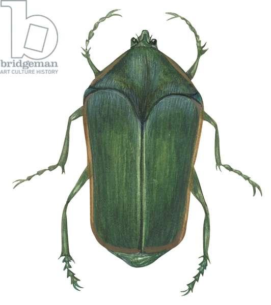 Hanneton - Green june beetle (Melolonthinae) ©Encyclopaedia Britannica/UIG/Leemage