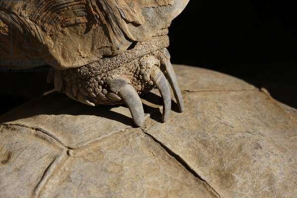Tortoise Claw (photo)