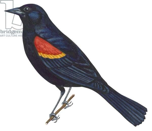 Carouge a epaulettes - Red-winged blackbird (Agelaius phoeniceus) ©Encyclopaedia Britannica/UIG/Leemage