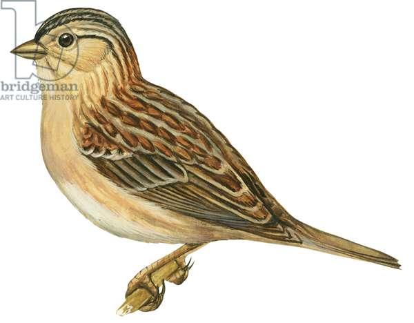 Bruant sauterelle - Grasshopper sparrow (Ammodramus savannarum) ©Encyclopaedia Britannica/UIG/Leemage
