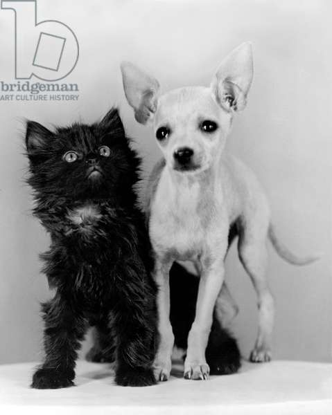 Chihuahua Has Kitten Sidekick (b/w photo)