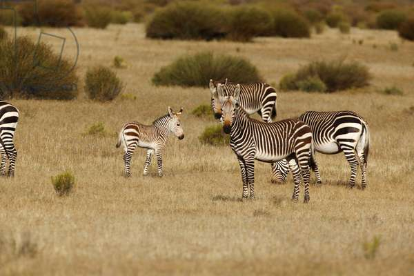 Cape Mountain Zebra (photo)