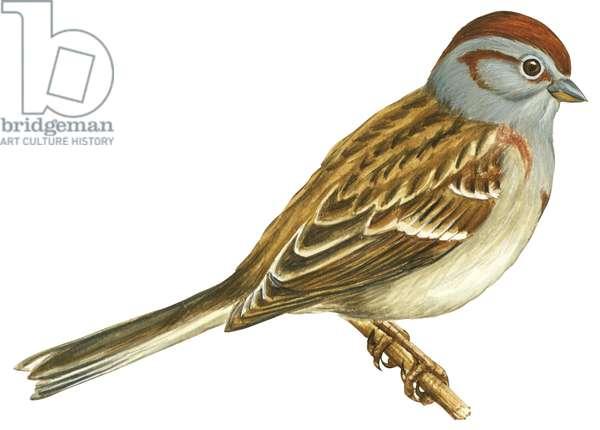Bruant hudsonien - American Tree sparrow (Spizella arborea) ©Encyclopaedia Britannica/UIG/Leemage