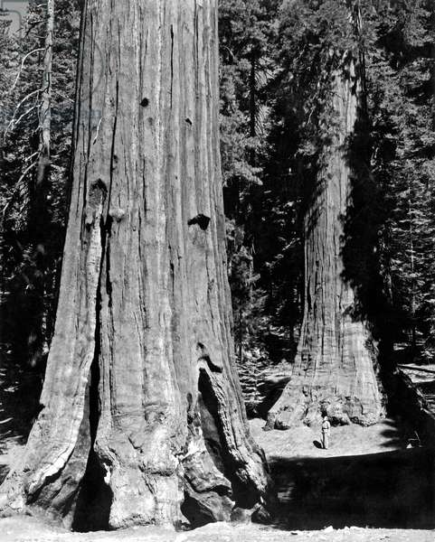 The Mariposa Grove In Yosemite (b/w photo)